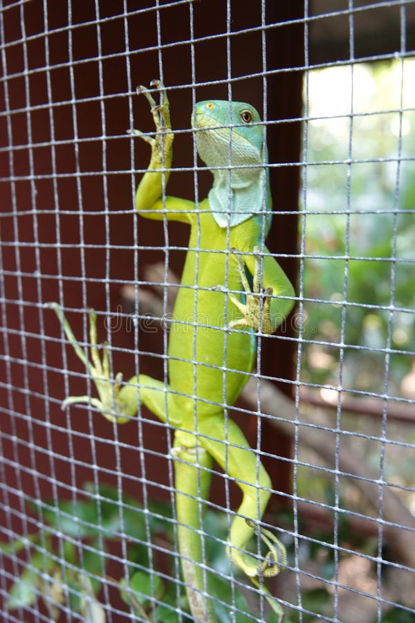 Fijian banded iguana, Kula eco park. Climbing banded iguana behind fence on Vita Levu, Fiji The Fiji banded iguana Brachylophus fasciatus is an arboreal species stock images