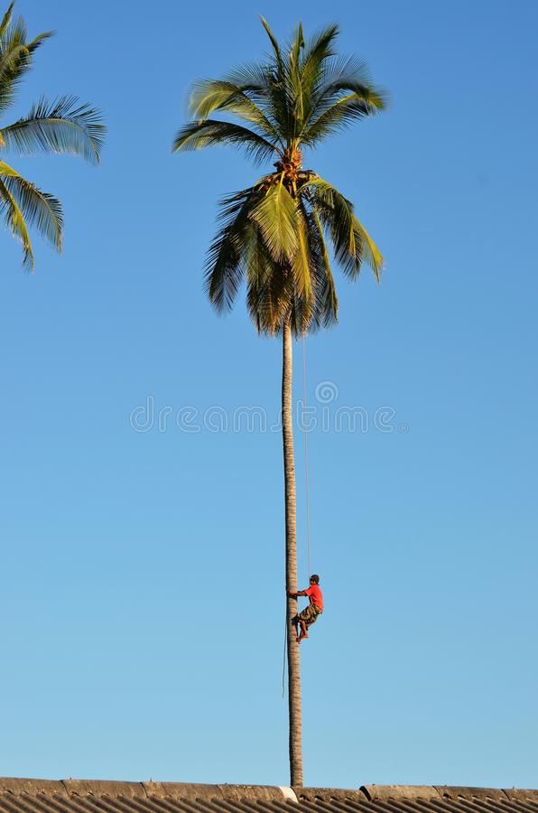 Climbing down from the top of a palm tree stock photography