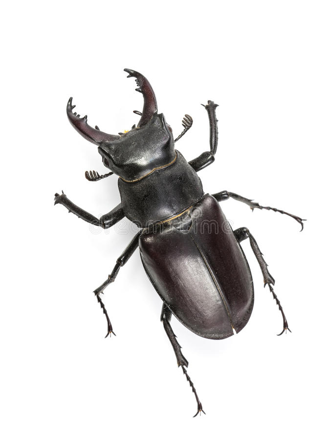 Climbing Isolated Stag Beetle royalty free stock photos