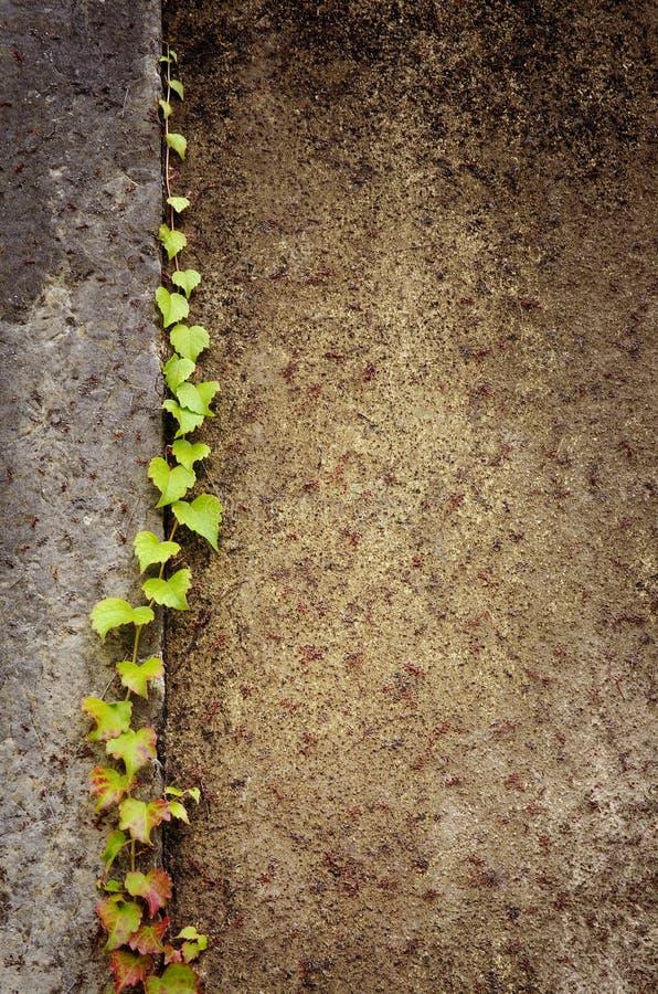 Climbing Ivy Stock Photos