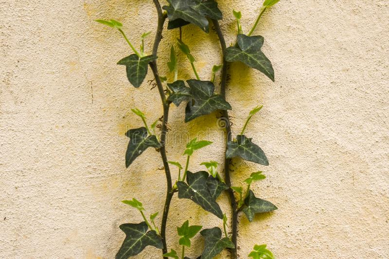 Climbing ivy on the grunge wall stock photography