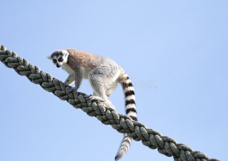 Download Climbing Lemur stock image. Image of ring, lemur, rope - 24623665