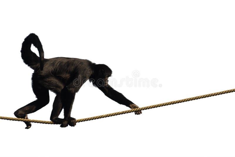 Climbing Monkey royalty free stock photography