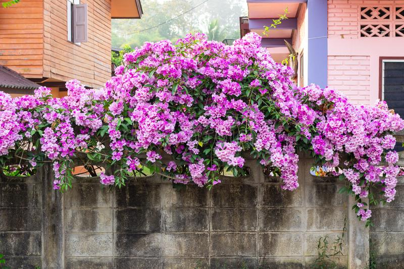 Beautiful pink flowers growing on wall. Climbing pink flowers on a wall. flower decor stock photo