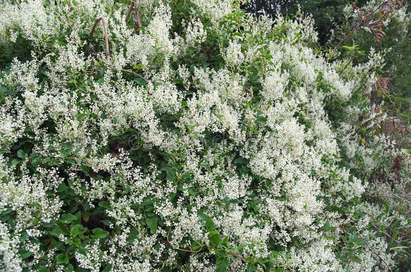 Climbing plant abundance of blooming white flowers stock image download climbing plant abundance of blooming white flowers stock image image of moss floral mightylinksfo