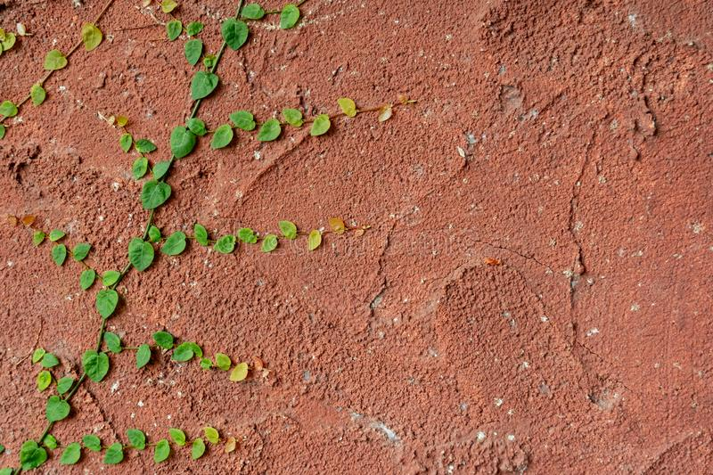 Climbing plant growing on antique red wall royalty free stock photography