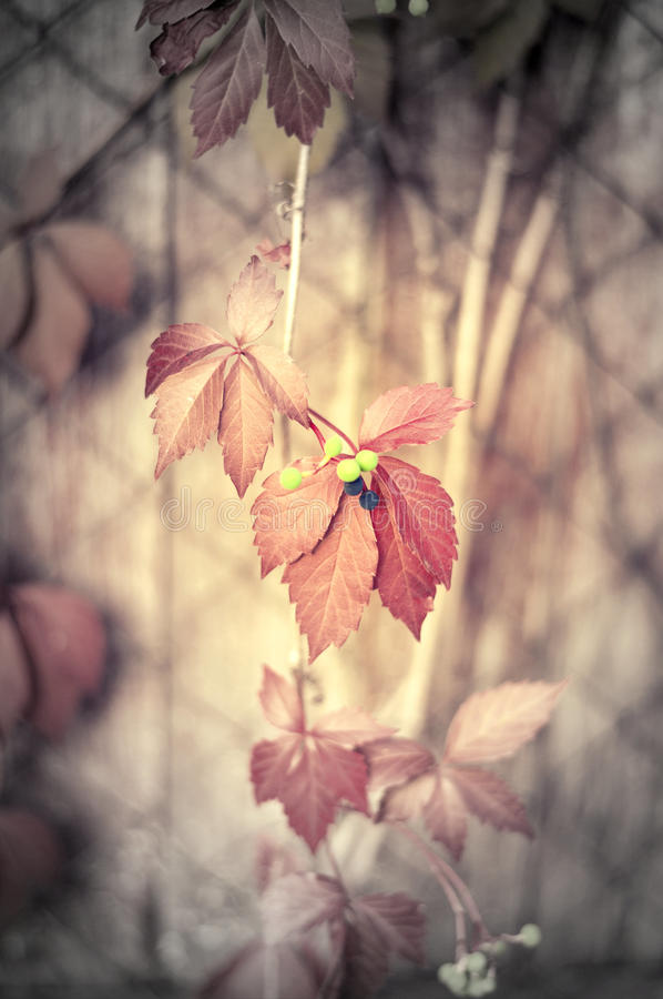 Download Climbing Plant With Red Leaves Stock Image - Image: 33579211