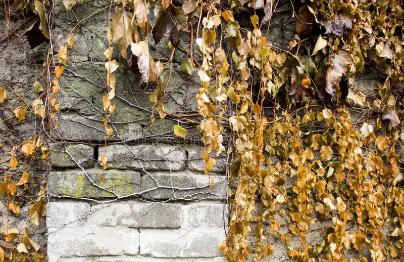Climbing plants on a stone fence. Wild grape on brick wall royalty free stock photography
