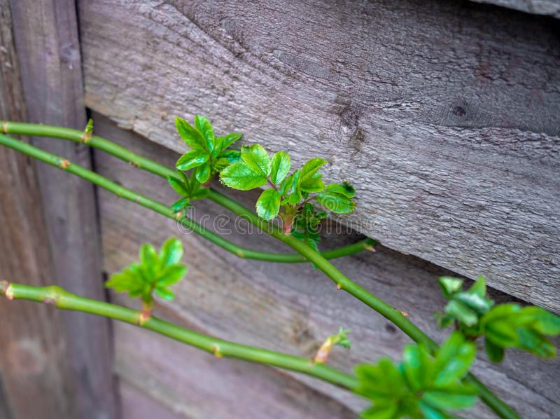 Climbing rose Branch studded with green sprouts in spring royalty free stock photos