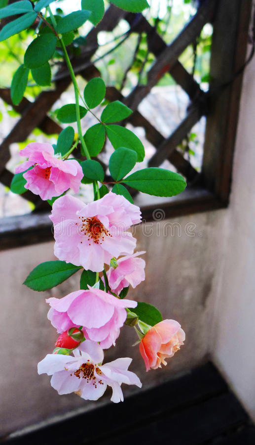 Climbing rose on wood trellis stock photo