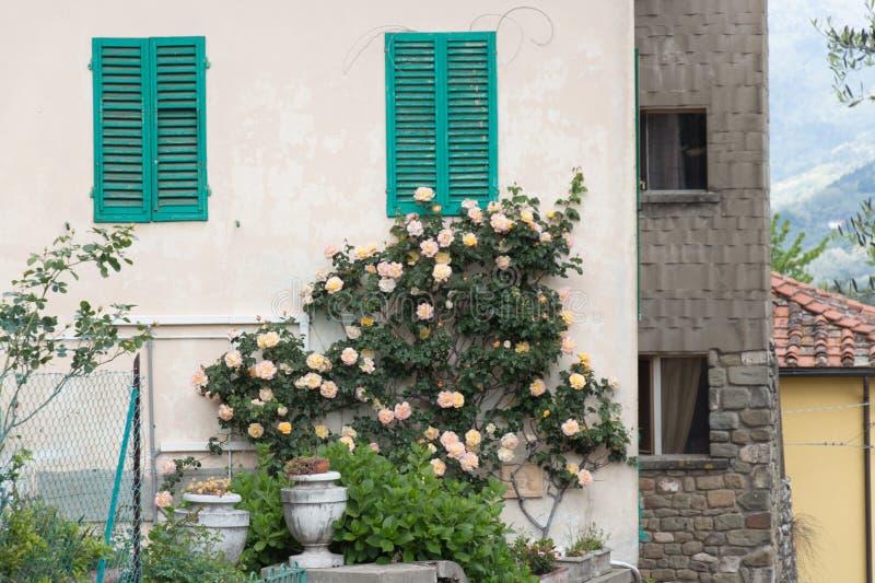 Climbing roses on a brick wall of a house stock photos