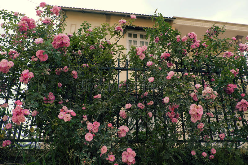 Download Climbing Roses Trellis, Beautiful Fence Front Of House Stock Image    Image Of Beauty