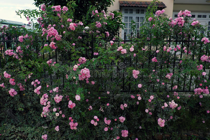 Download Climbing Roses Trellis, Beautiful Fence Front Of House Stock Image    Image Of Gardening