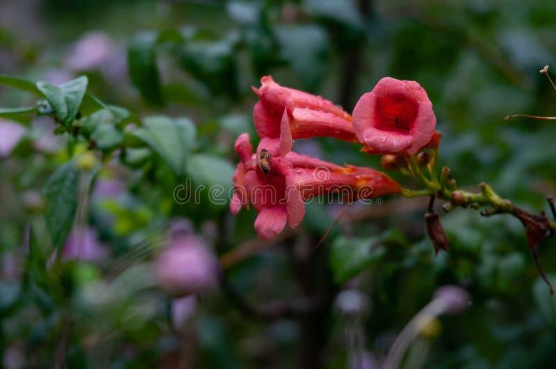 Bignonia campsis radicans wild. stock photos