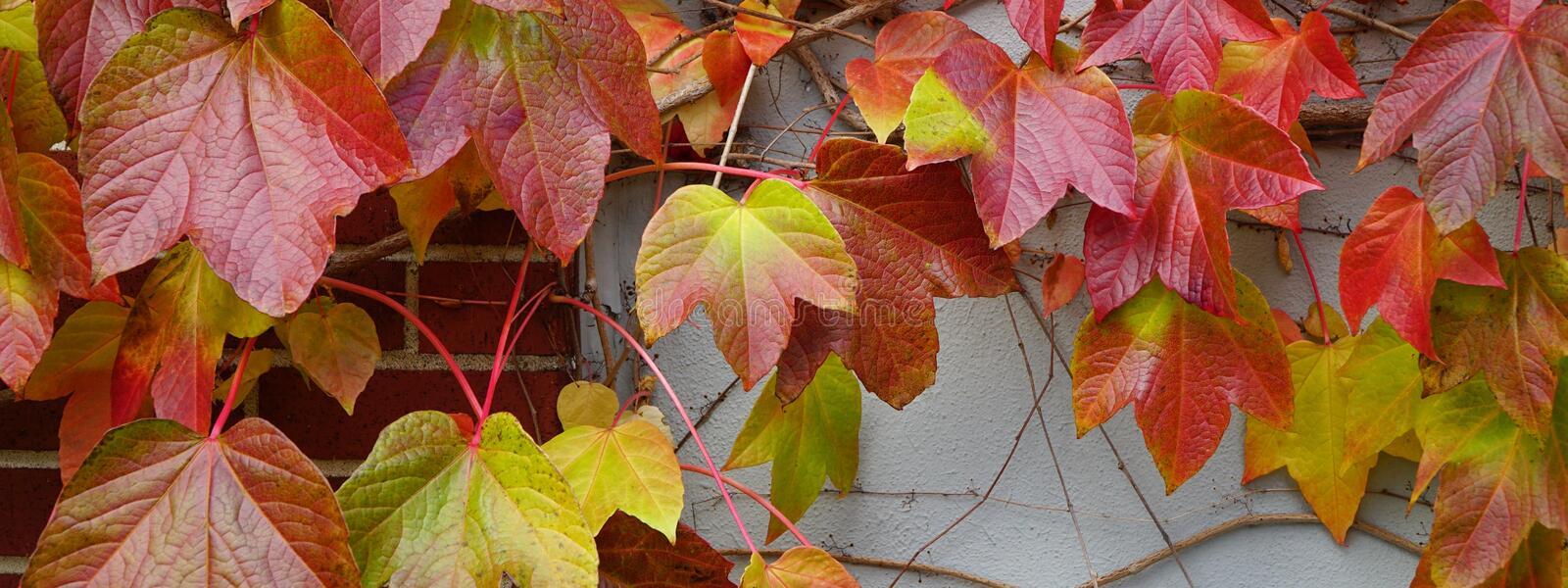 Climbing vine in fall colors royalty free stock image