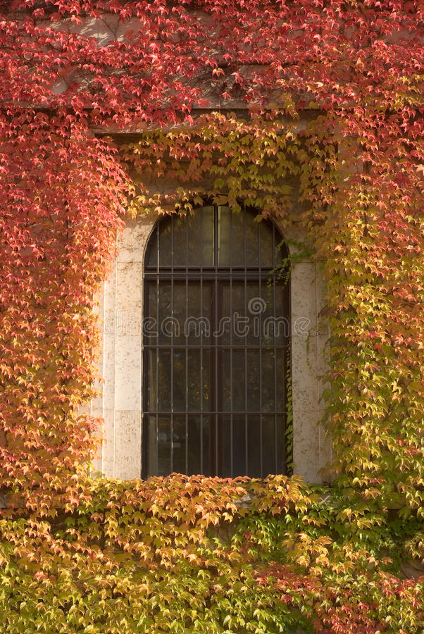 Download Climbing Vines of Ivy stock image. Image of creeper, leaf - 11610099