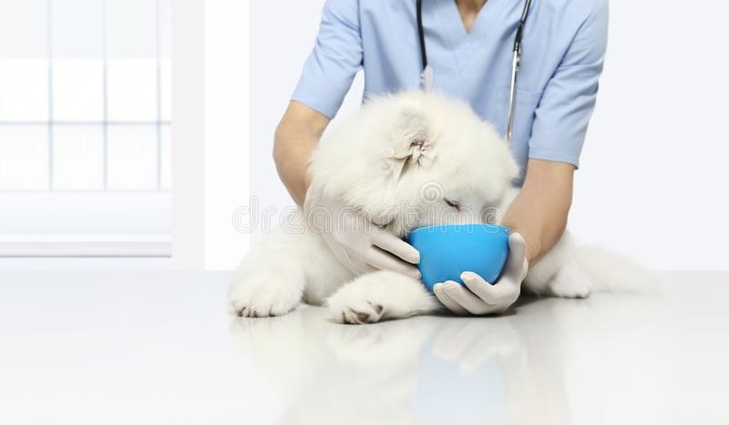 Clinically badający produktu egzaminu weterynaryjny pies z kibb, zdjęcie royalty free