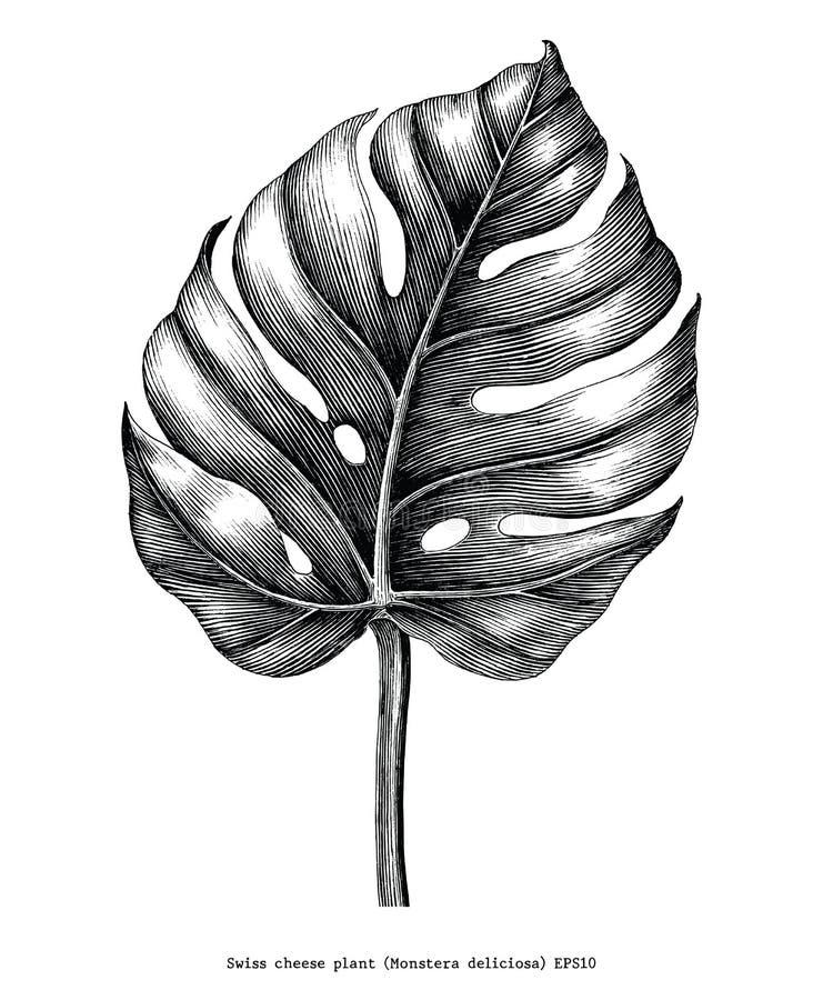 Clip art del grabado del vintage del drenaje de la mano de la hoja de Monstera aislado en w stock de ilustración