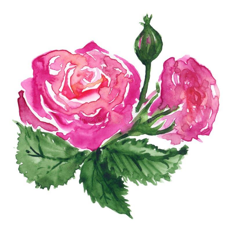 Clip art dibujado mano color de rosa rosada de la planta de la hoja del verde del brote de flor de la acuarela aislado ilustración del vector