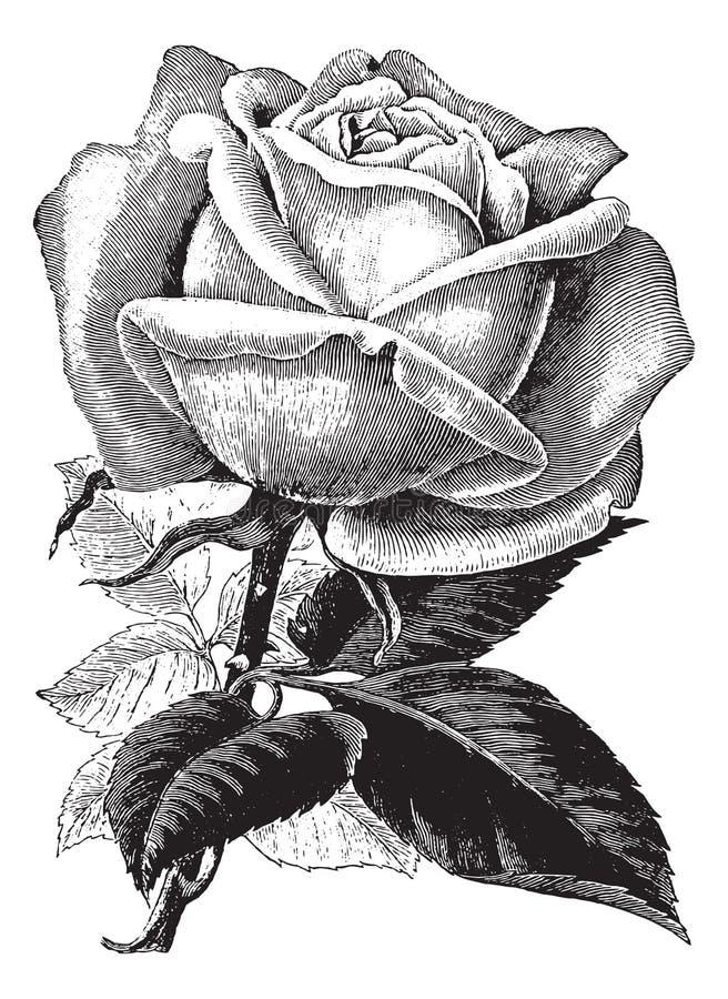 Clipart color de rosa del vector del ejemplo del vintage antiguo ilustración del vector