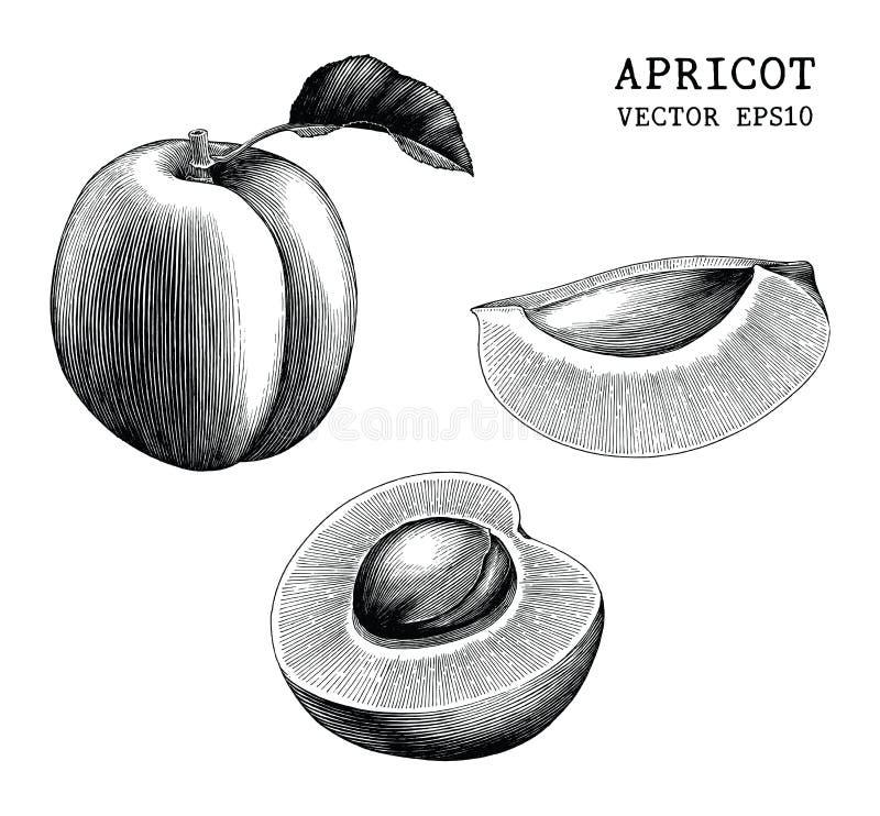 Clipart d'annata di tiraggio della mano della raccolta dell'albicocca isolato su bianco illustrazione di stock