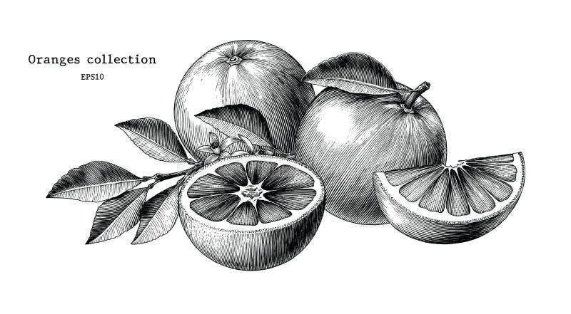 Clipart d'annata di tiraggio della mano della raccolta delle arance isolato su bianco illustrazione vettoriale