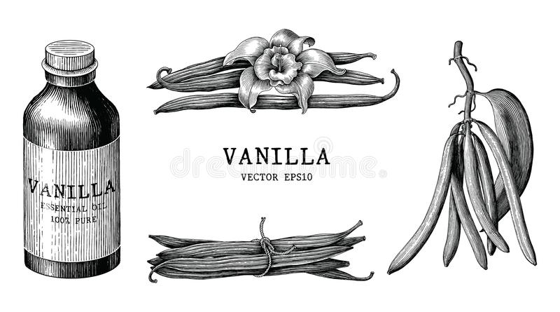 Clipart d'annata di tiraggio della mano della raccolta della vaniglia isolato su bianco royalty illustrazione gratis