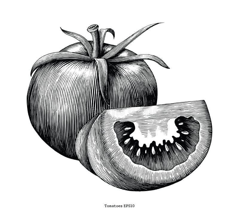 Clipart (images graphiques) de vintage d'aspiration de main de tomates d'isolement sur le fond blanc illustration de vecteur