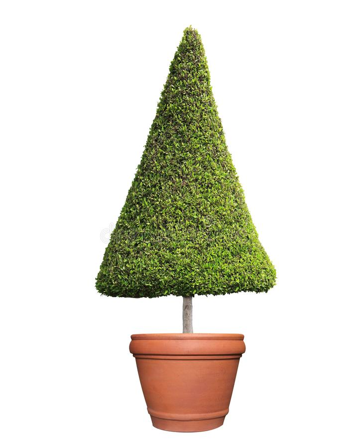 Clipped triangle cone shape symmetrical topiary tree on clay pot isolated on white background for outdoor and garden design. Clipped triangle cone shape stock photo