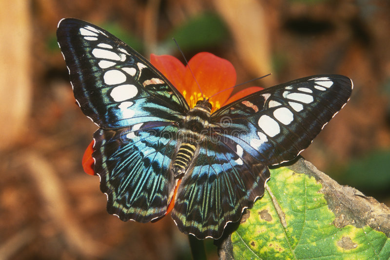 Clipper Butterfly. Malaysian Blue Clipper Butterfly (Parthenos sylvia) Native to Phillipines and SE Asia royalty free stock images