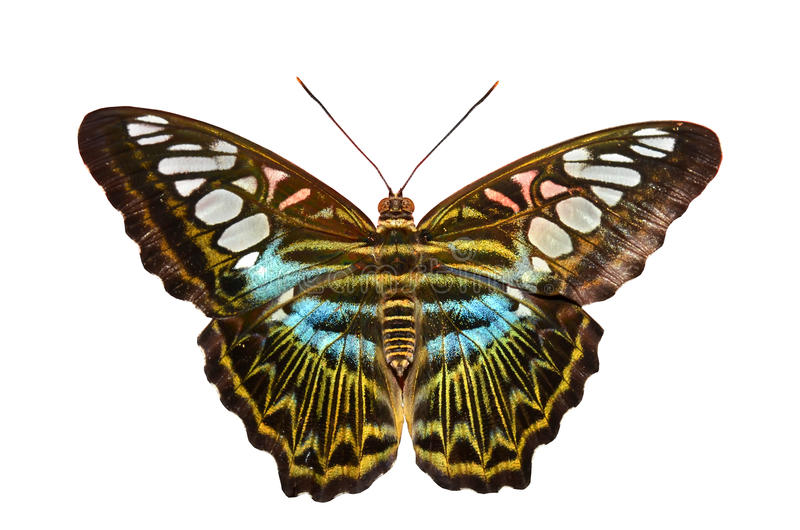 Clipper Butterfly stock photos