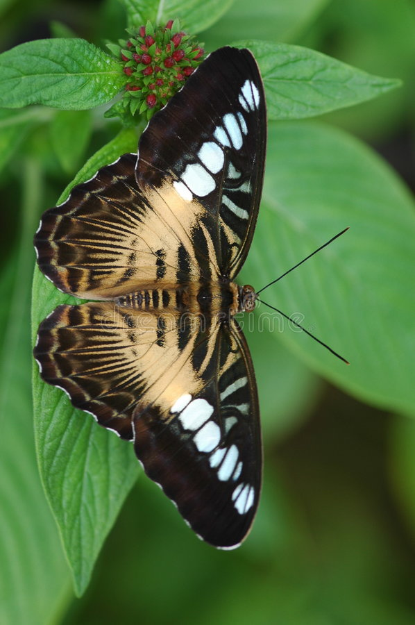 Clipper Butterfly royalty free stock photography