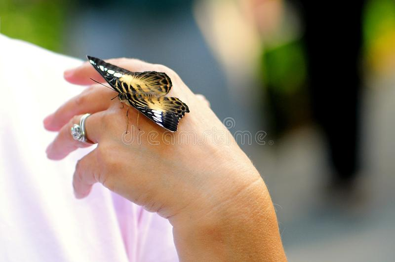 Clipper butterfly on hand stock photography