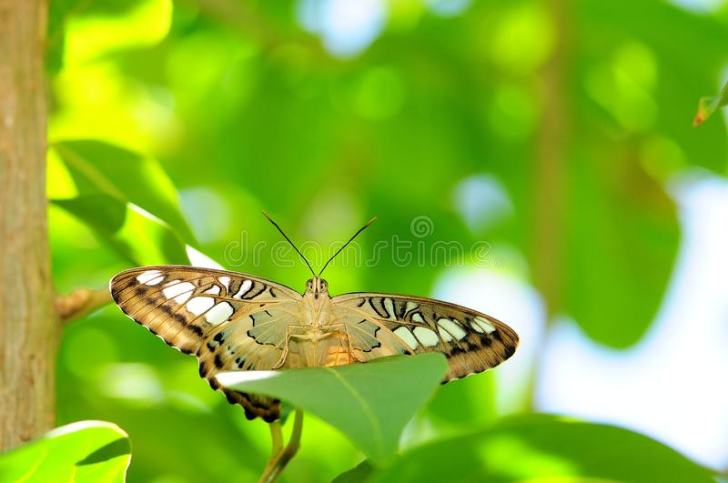 Clipper Butterfly (Underside) royalty free stock photos