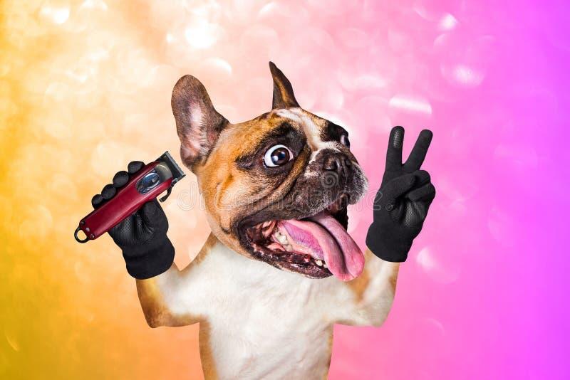 Clipper för håll för fransk bulldogg för rolig hundbarberaregroomer ljust rödbrun Man p? apelsinen, rosa bakgrund arkivbild
