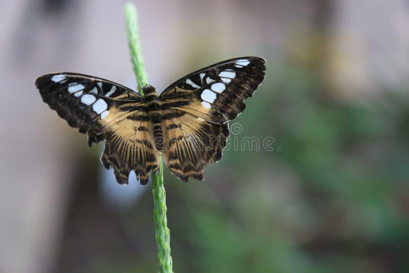 Clipper vlinder stock foto