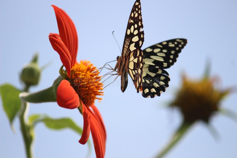 Clique da borboleta foto de stock royalty free
