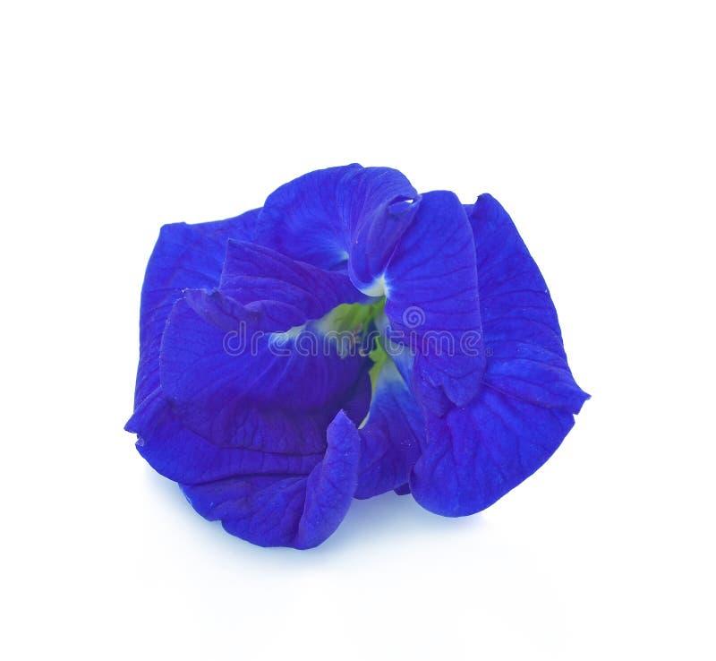 Clitoria ternatea oder Aparajita-Blume lokalisiert auf wei?em Hintergrund stockfotografie