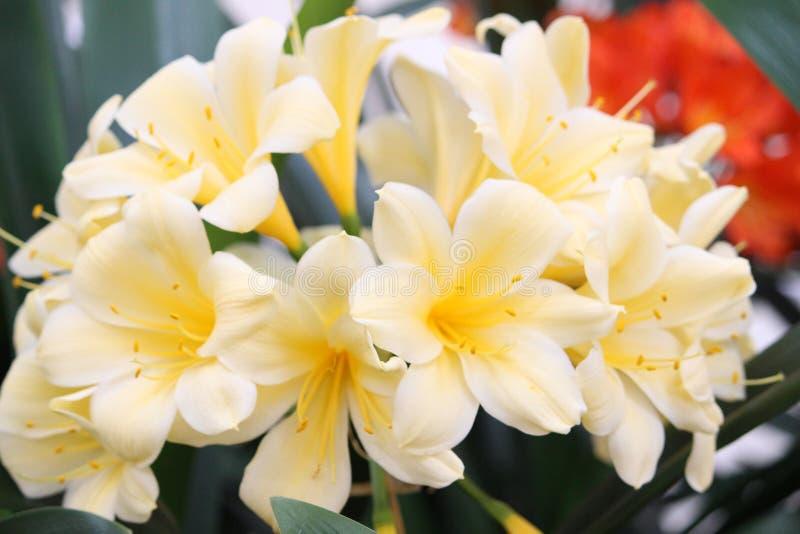 Clivia黄色 免版税库存照片