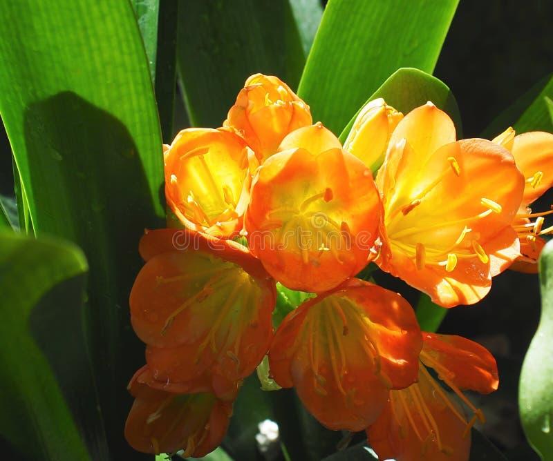 Clivia In Bloom orange image libre de droits