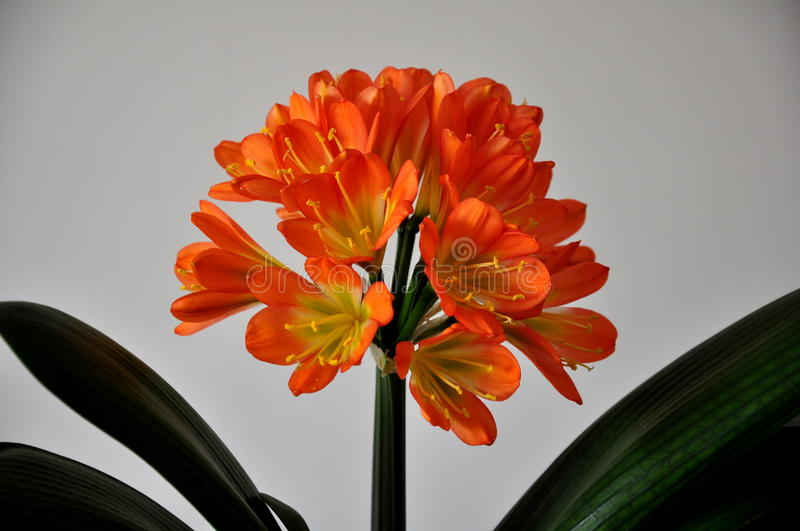 Clivia stock photos