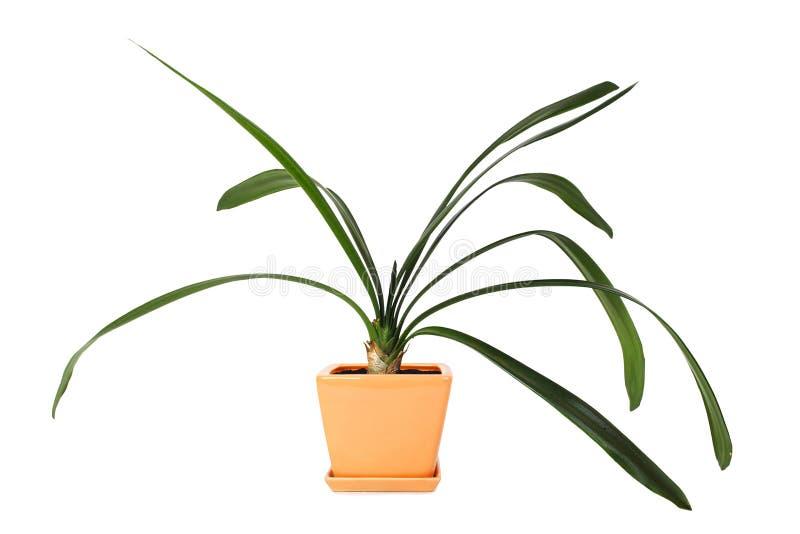 Clivia del Houseplant in flowerpot fotografia stock