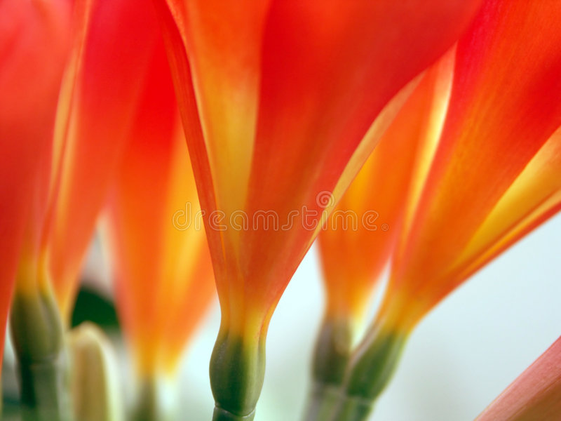 Clivia flowers from below stock photography