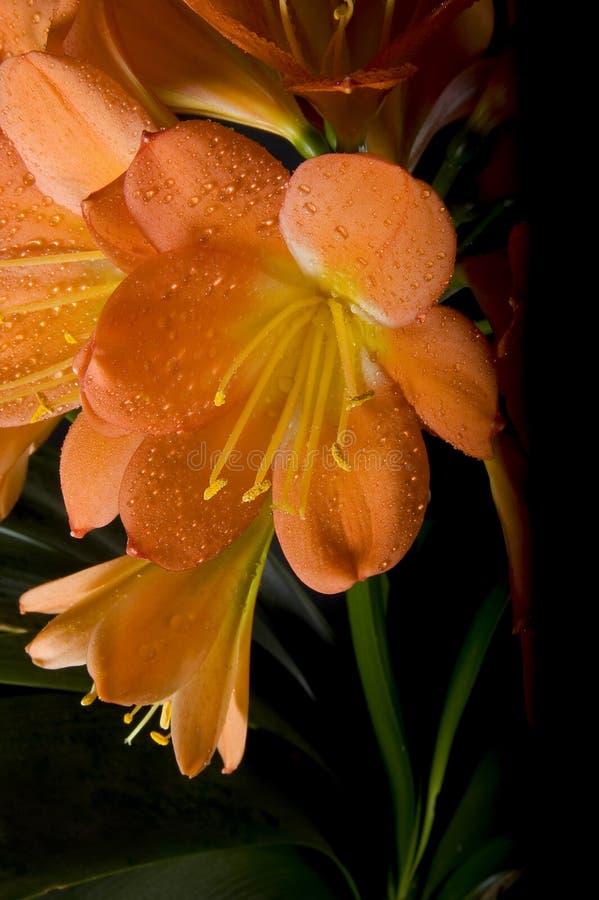 Clivia kwiat zdjęcia stock