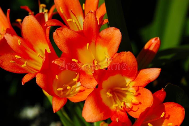 clivia kwiat miniata obrazy stock