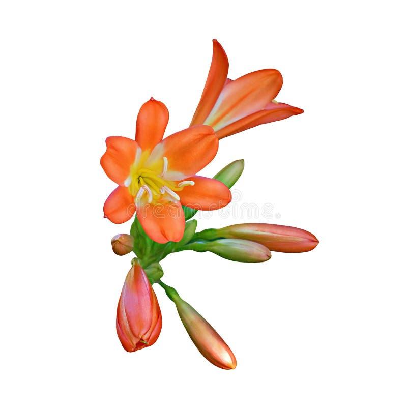 Clivia kwiaty, odosobneni na bielu obraz stock