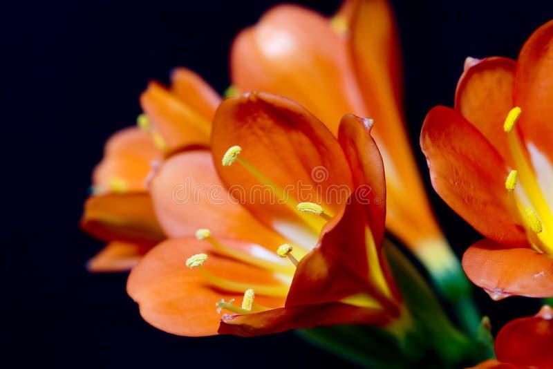 Clivia miniata lizenzfreies stockbild