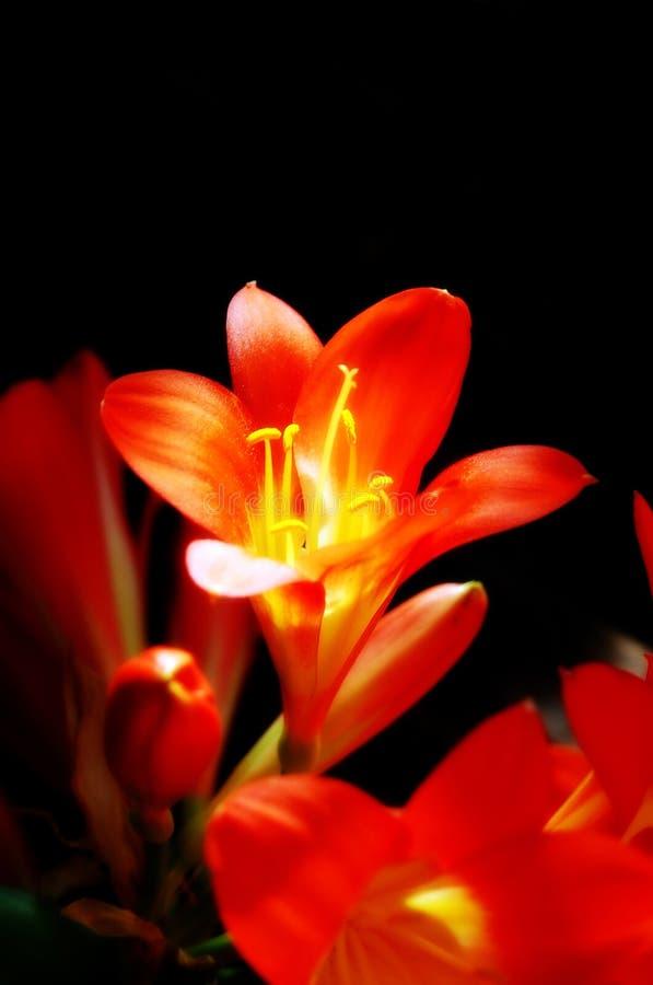 Clivia Miniata Blume lizenzfreie stockfotografie
