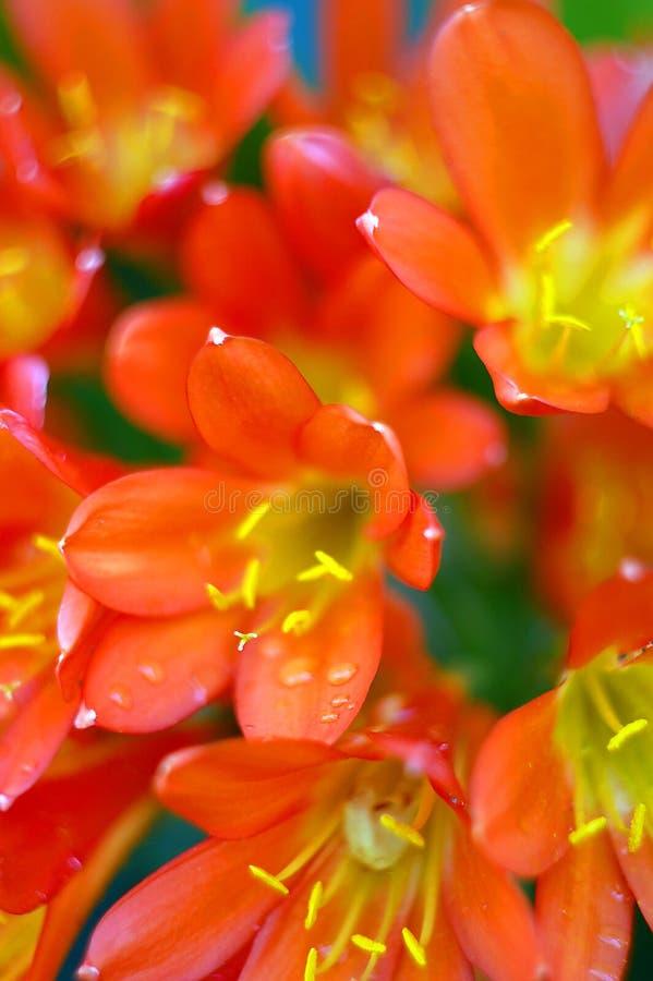 Clivia miniata, Bush-Lilie in der Blüte lizenzfreie stockfotografie
