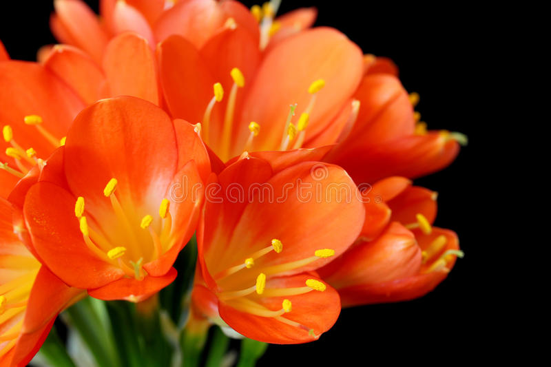 Clivia Miniata (Bush Lily) in bouquet on black royalty free stock photos